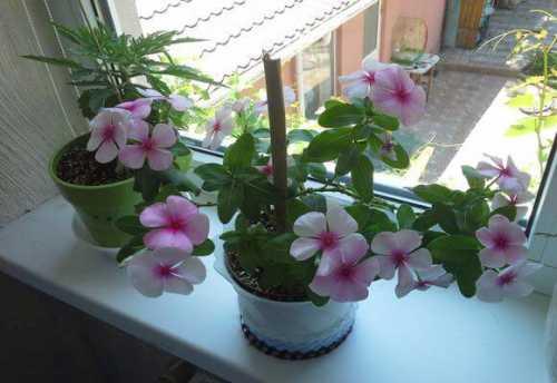 уход за хризантемой в горшке в домашних условиях: правила, советы