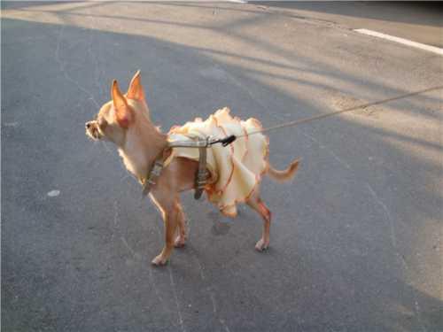пироплазмоз собак бабезиоз собак: симптомы, диагностика, лечение, профилактика
